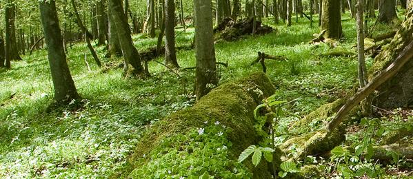 Ostatni dziewiczy las wEuropie