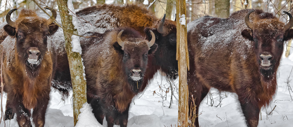 European bison - the largest mammal in Europe